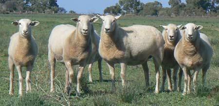 Poll Wiltshire Sheep